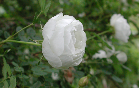 Peter d a boyds article on scots roses and the north american peter d a boyds article on scots roses and the north american connection mightylinksfo