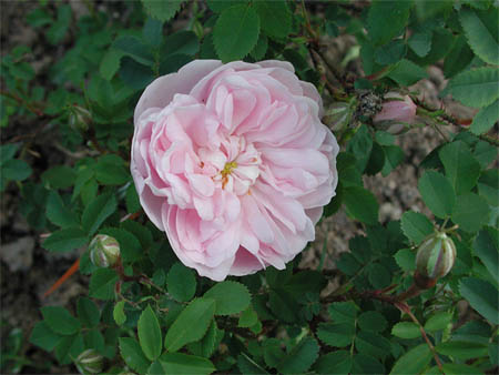 Peter d a boyds article on scots roses and the north american rosa stanwell perpetual has good scent and delicately coloured flowers that fade from pink to white mightylinksfo